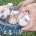 Владельцу снесенной в Бескудникове голубятни так и не предоставили временный домик для птиц